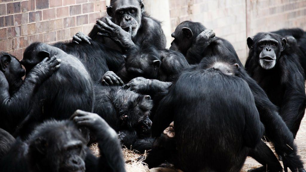citizenrod think status value society psychology chimpanzee